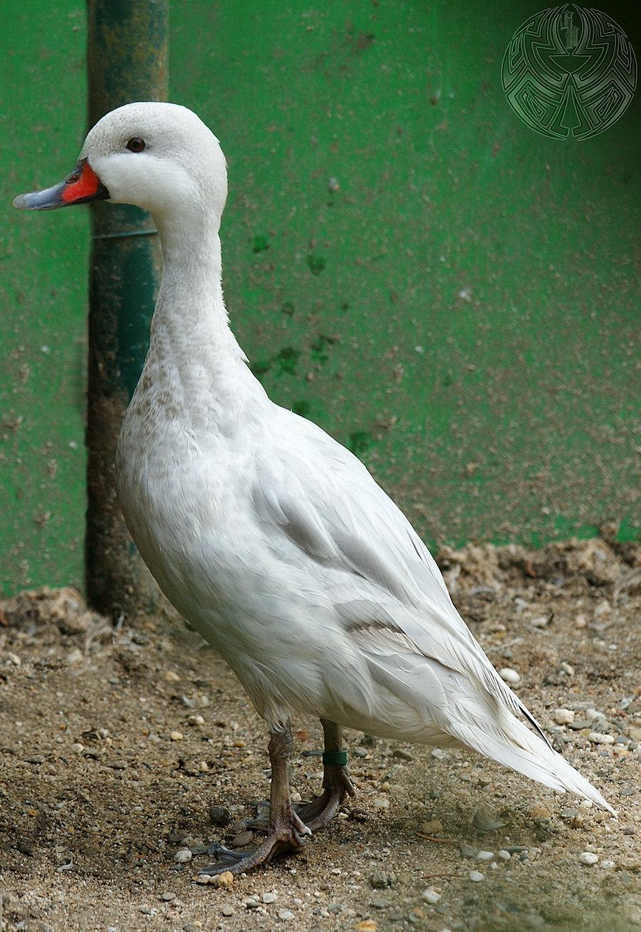 Duck-Day So slim by webcruiser