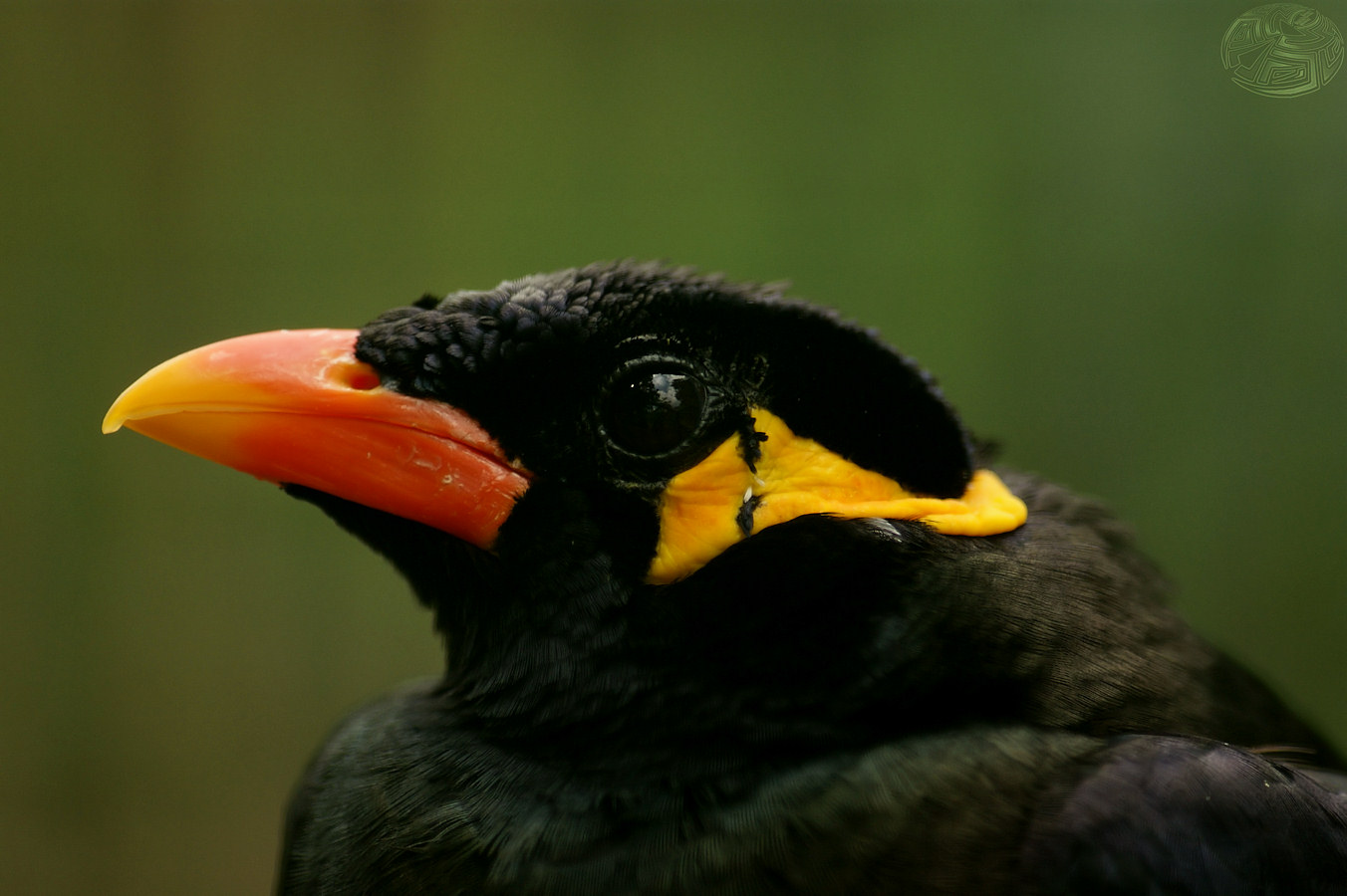 Hill Myna Portrait by webcruiser