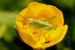 Juvenile hopper II by webcruiser