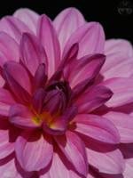 Pink Cute II by webcruiser