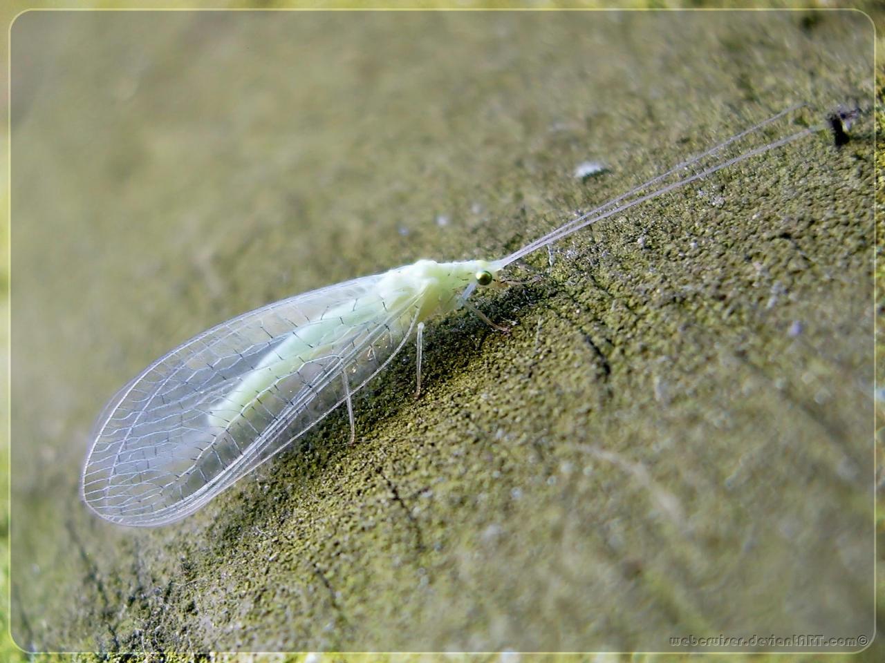 green lacewing III WP by webcruiser on DeviantArt