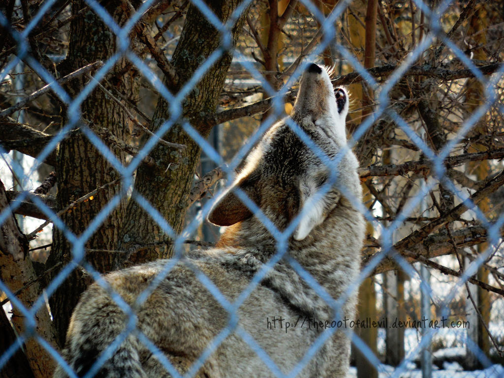 Coyote Howl by TheRootOfAllEvil