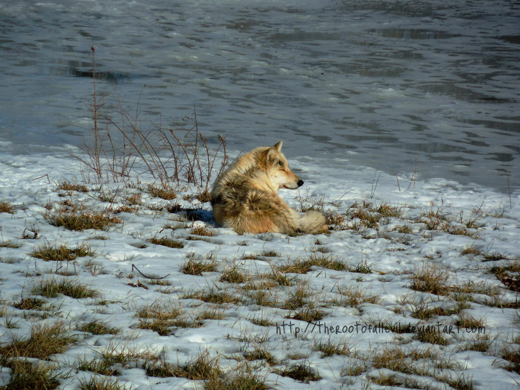 Sleepy Wolf by TheRootOfAllEvil