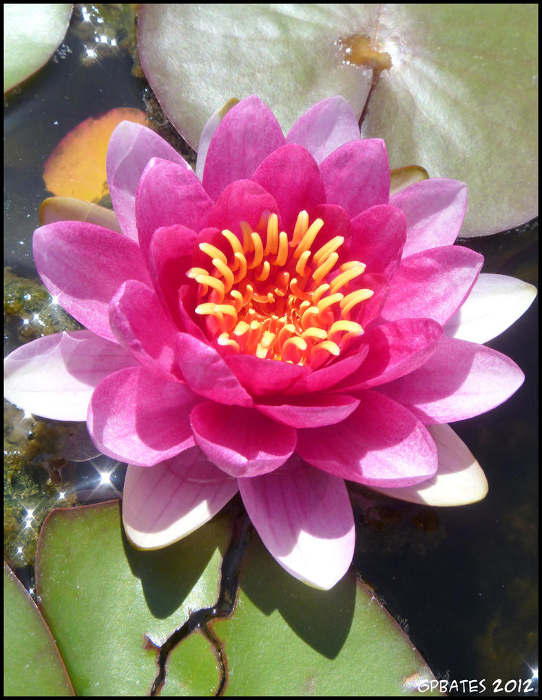 Water Lily by Medbie
