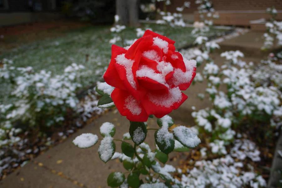 frozen rose wallpaper