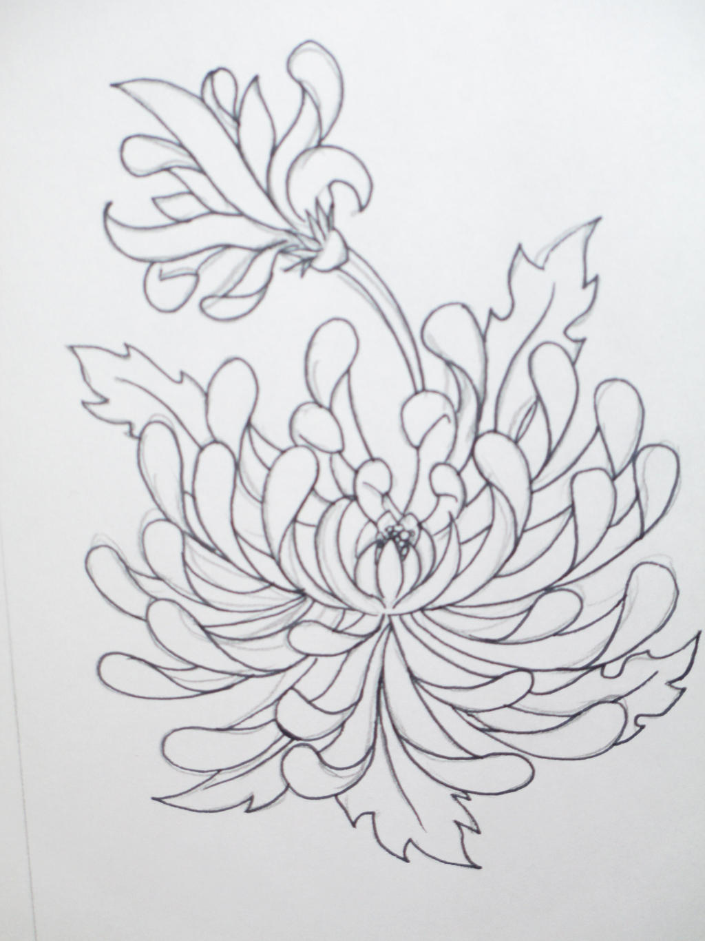 Chrysanthemum Flower Line Drawing : The gallery for gt spider tattoo outline