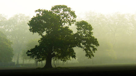Oak in the mist by grotgier