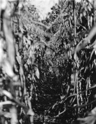 Dead Corn by BionWolf