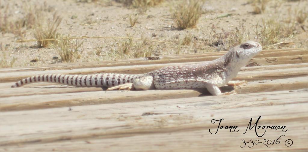 Desert Iguana by LoopGaroux