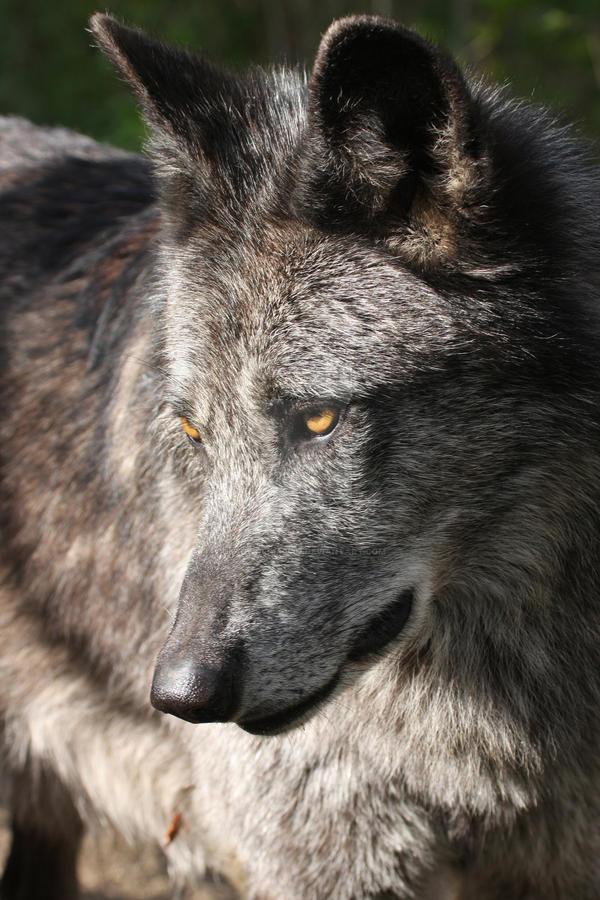 Timberwolf portrait 1 by deadwolf140407