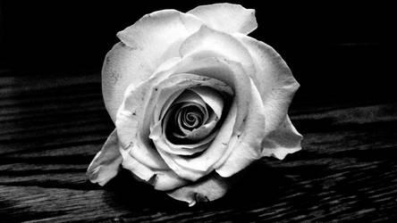 Ansel Adams' Rose