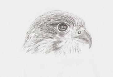 NZ Falcon by souan