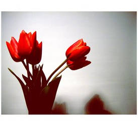 Sacred tulip