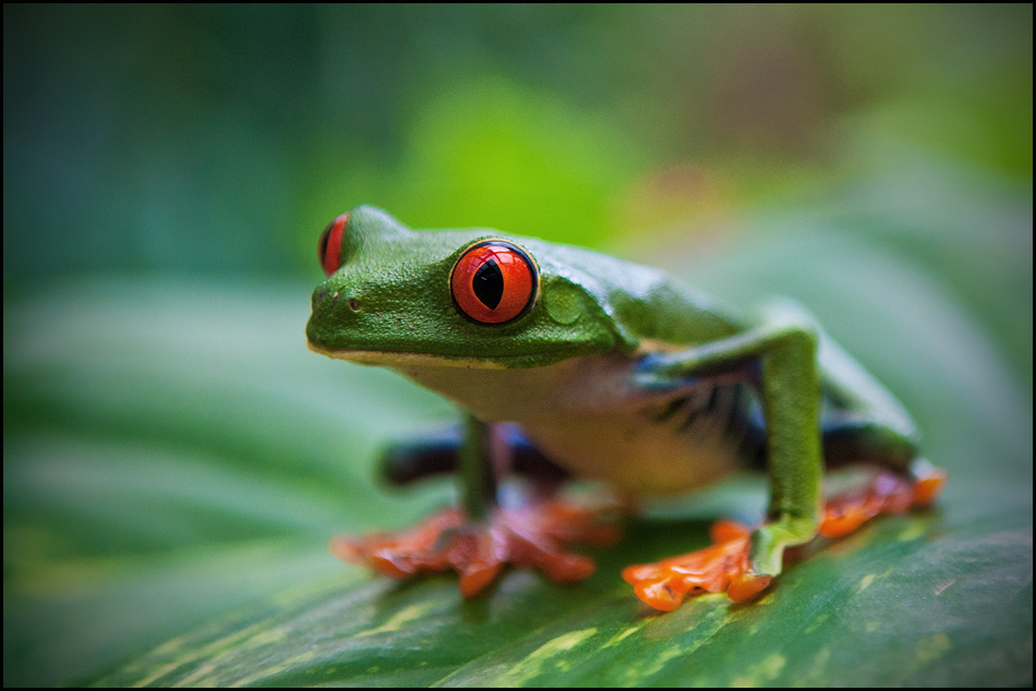 Red eyed frog fom Costa Rica by IgorLaptev