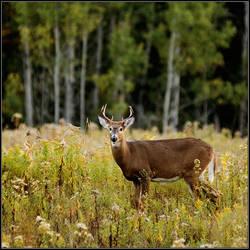 Deer by IgorLaptev