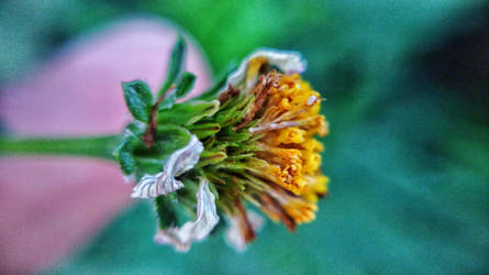 Flower (macro) by TheLittleMexicanDraw