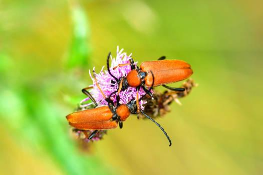 Red-brown Longhorn Beetle (Corymbia rubra)