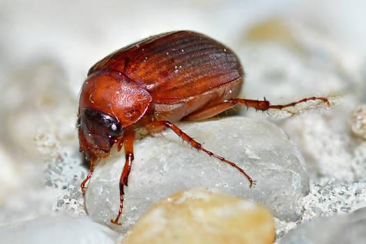 Little May beetle (Serica brunnea)