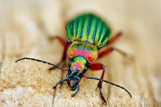 24 Carat beetle