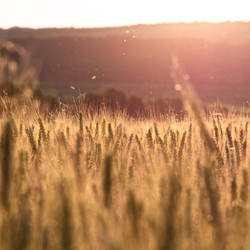 Fields of Gold by FlorianWardell