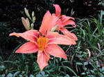 Hemerocallis fulva, the orange day-lily