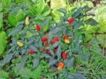 Hot Pepper In My Garden