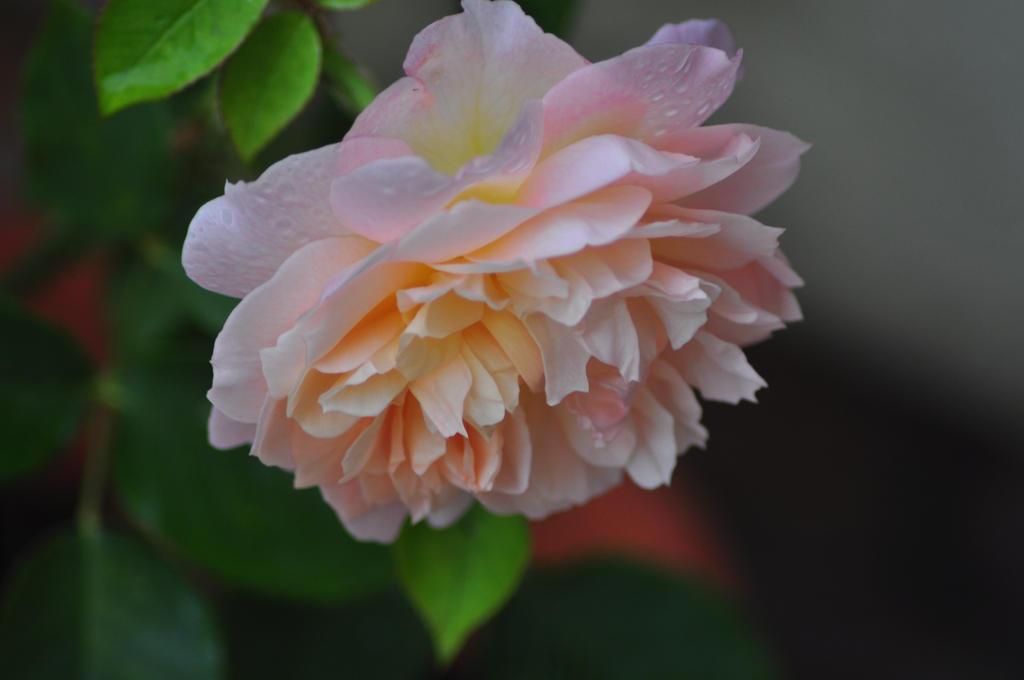 My Perfect Magdalane Rose by trevj