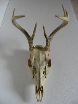 Deer Skull 1