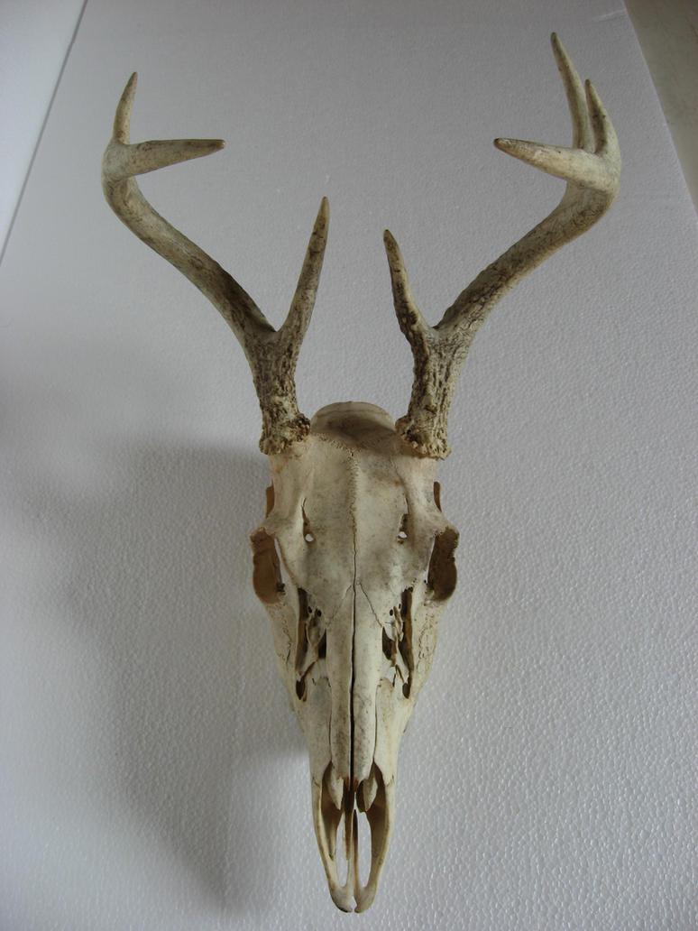 Deer Skull 1 by markopolio-stock