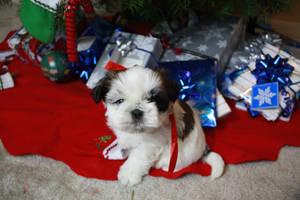 Shih Tzu Puppy by SteeleShutter