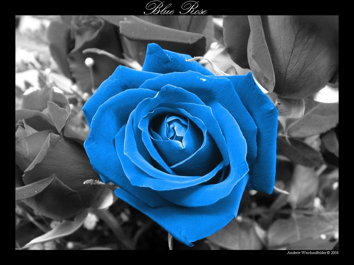 Black And White Blue Rose