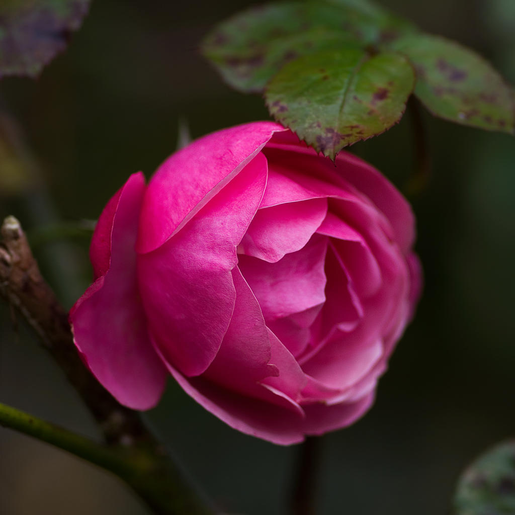 Pink Rose by Symian