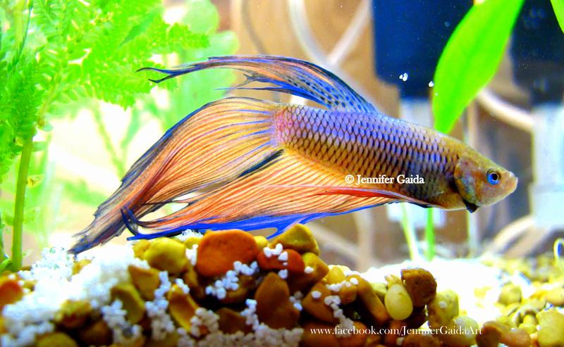 Betta fish by jenniferthefirst on deviantart for Betta fish friends