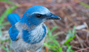 Scrub Jay by Grouper