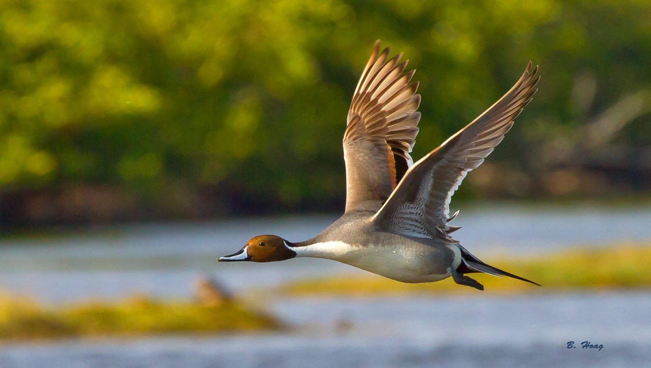 Northern Pintail Pass by Grouper on DeviantArt