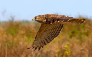 Red Shouldered Hawk Flying by Grouper