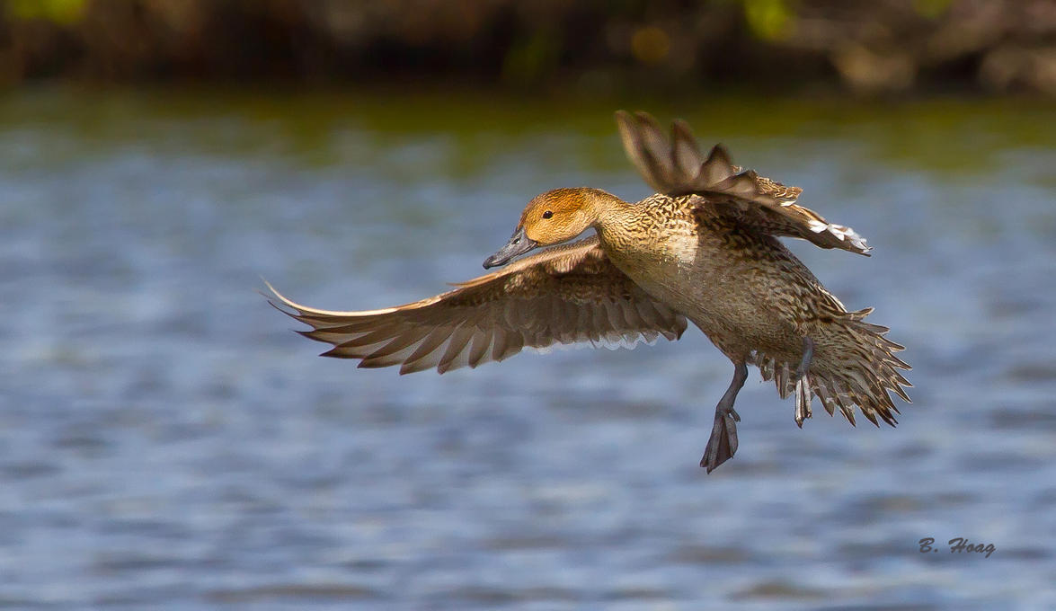 Pintail Hen by Grouper