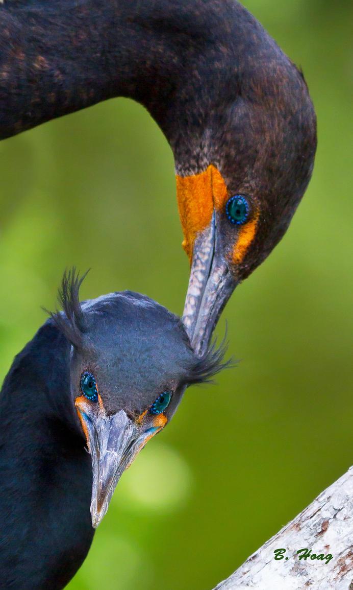 Cormorant Love by Grouper