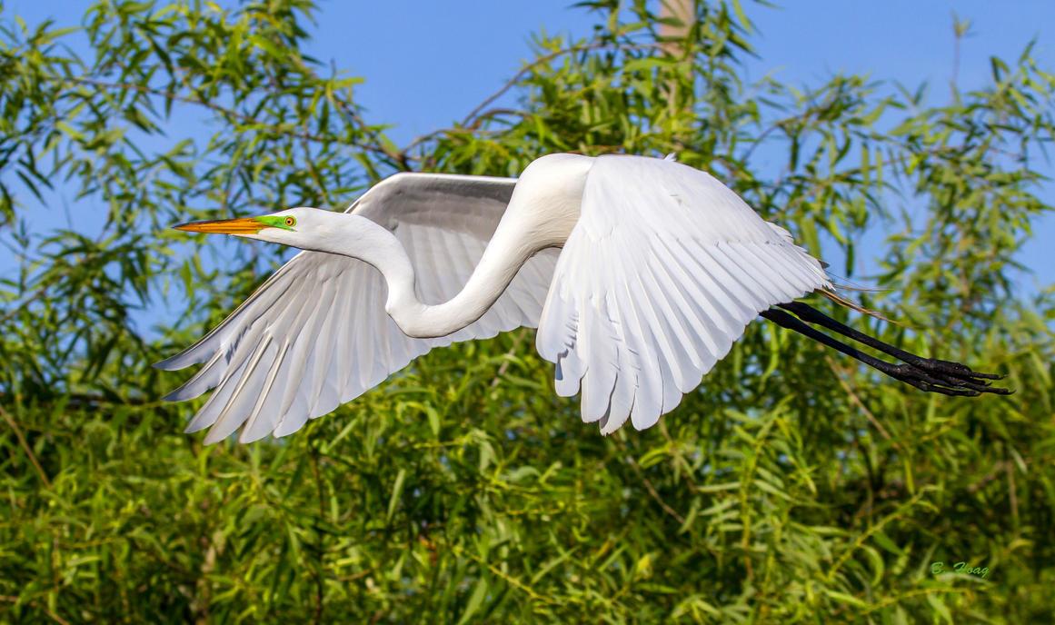 Great Egret II by Grouper