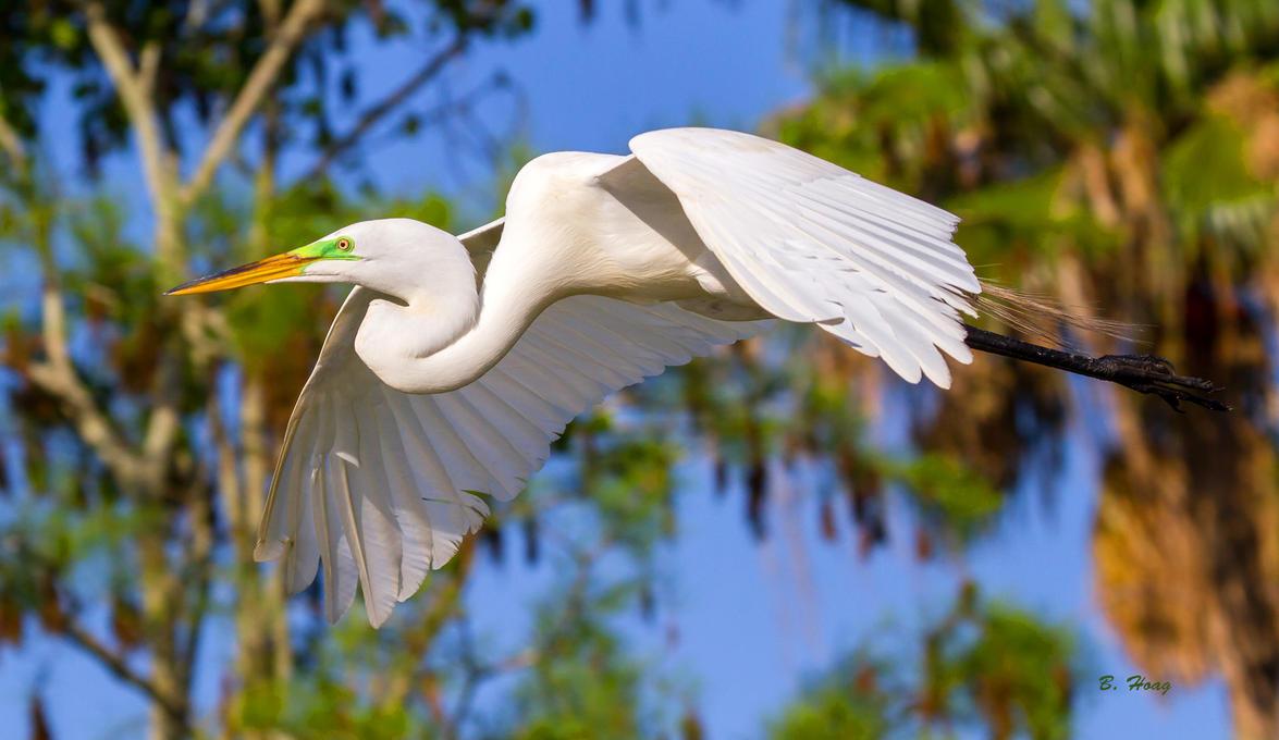 Great Egret III by Grouper