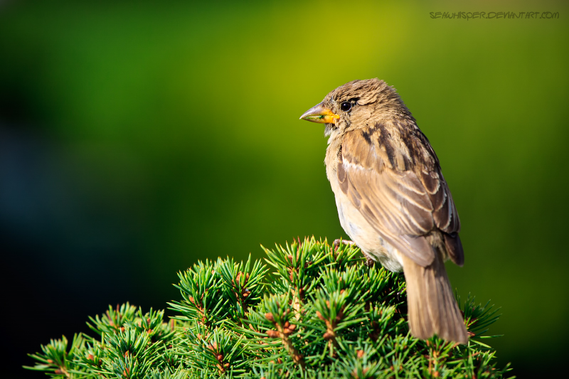 Sparrow On Green Background by SeaWhisper
