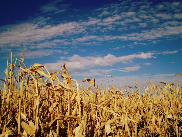 cornfield 1 by AselinJane