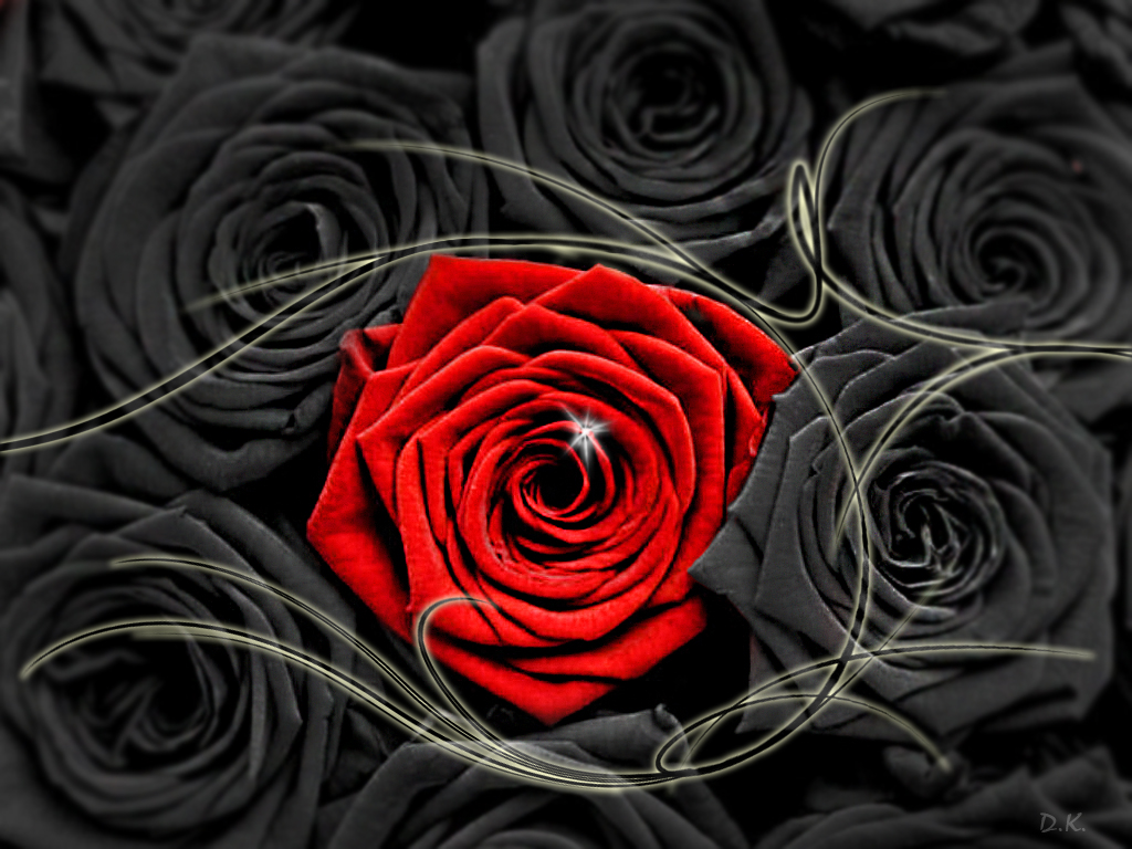 Black And White Red Rose