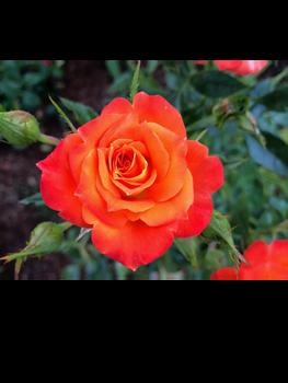 Fire Rose (UPDATES)
