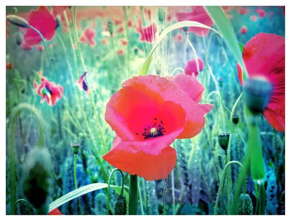The poppy field by greenday862