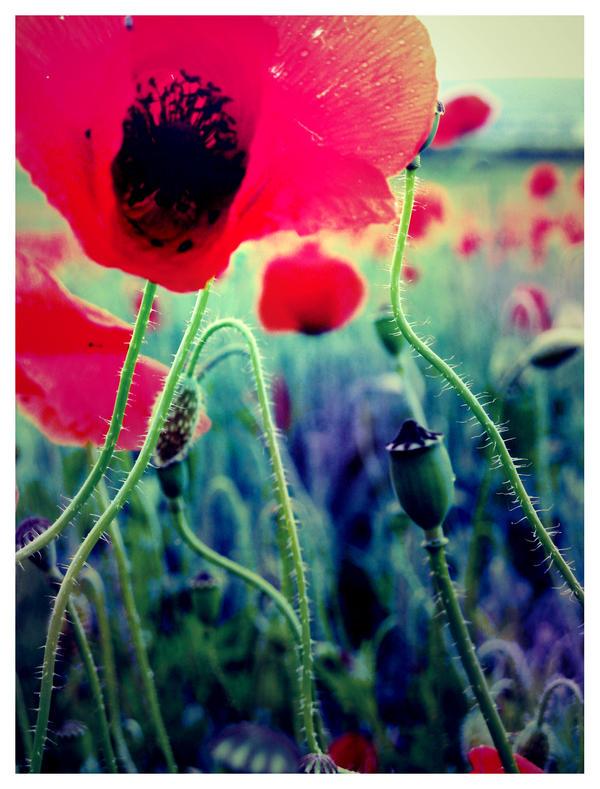 The poppy field II by greenday862