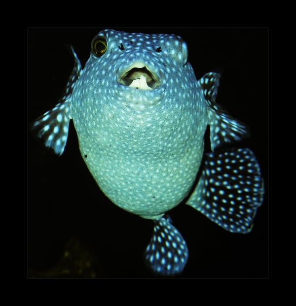 Blowfish by greenday862