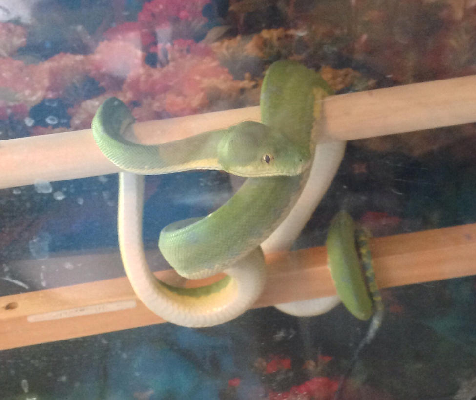 New Pet - Female Jayapura Green Tree Python by SilverShadowSpark
