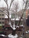 snowy plane tree