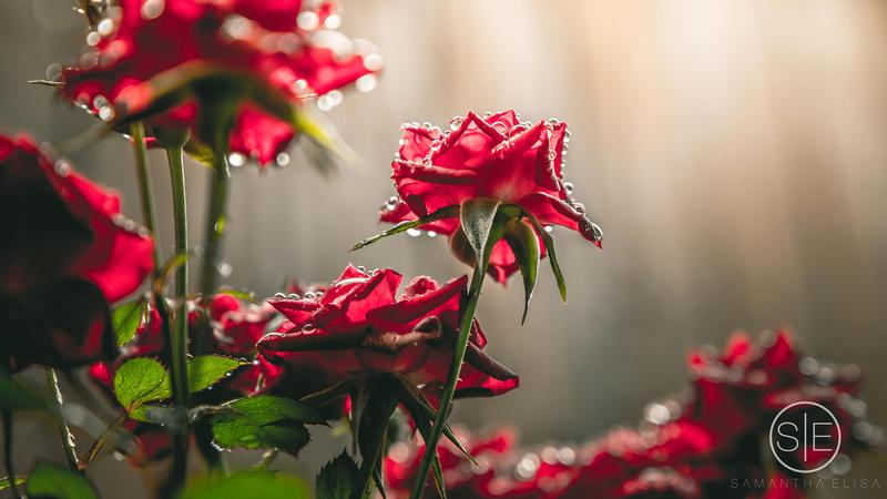 Morning Glory by SamanthaElisa
